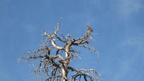 Flagstaff Baby Eagle