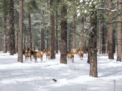 Flagstaff Elk